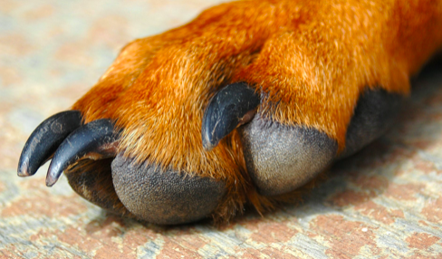 Damaged or torn or broken toenails in Dogs