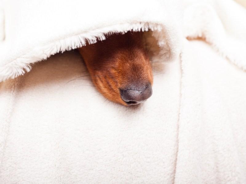 Why Do Dachshunds Go Under a Blanket?
