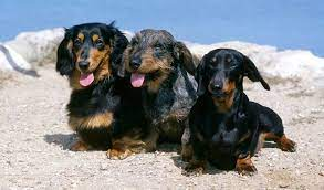 Dachshunds – The Good and the Bad